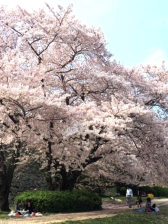 桜2015.jpg